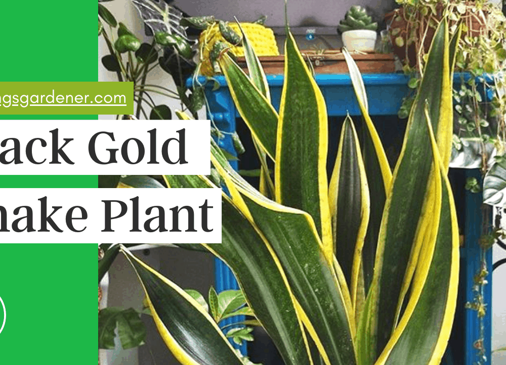 Black Gold Snake Plant, Superb Amazing Guides and Care Having This Plant (2021)