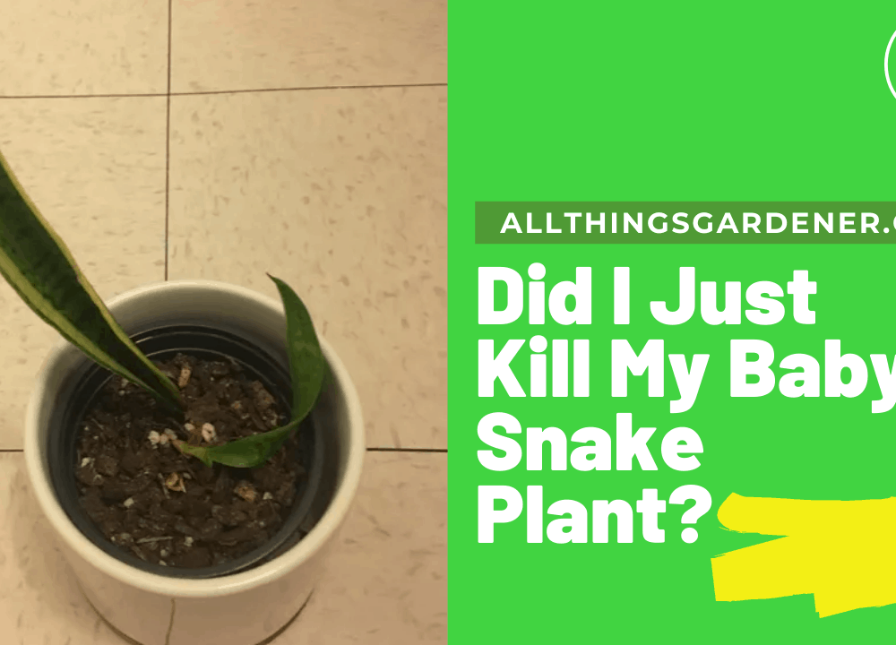 Did I Just Kill My Baby Snake Plant? Here's Superb Amazing Guides Of It! (2021)