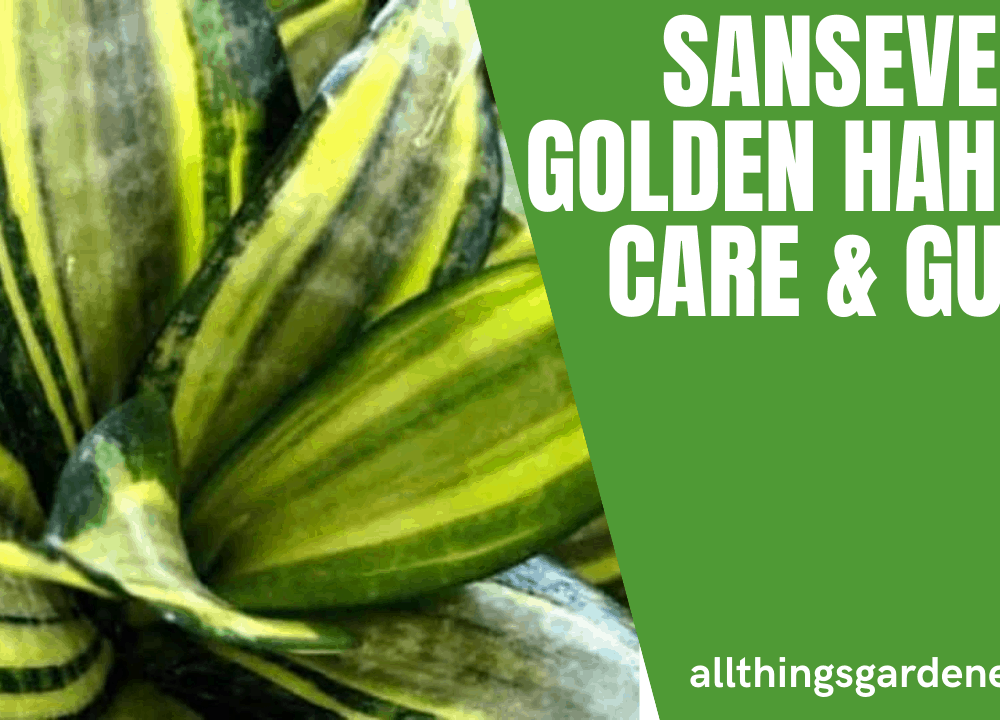 Superb Amazing Tips Having Sansevieria Golden Hahnii: Guides and Care (2021)
