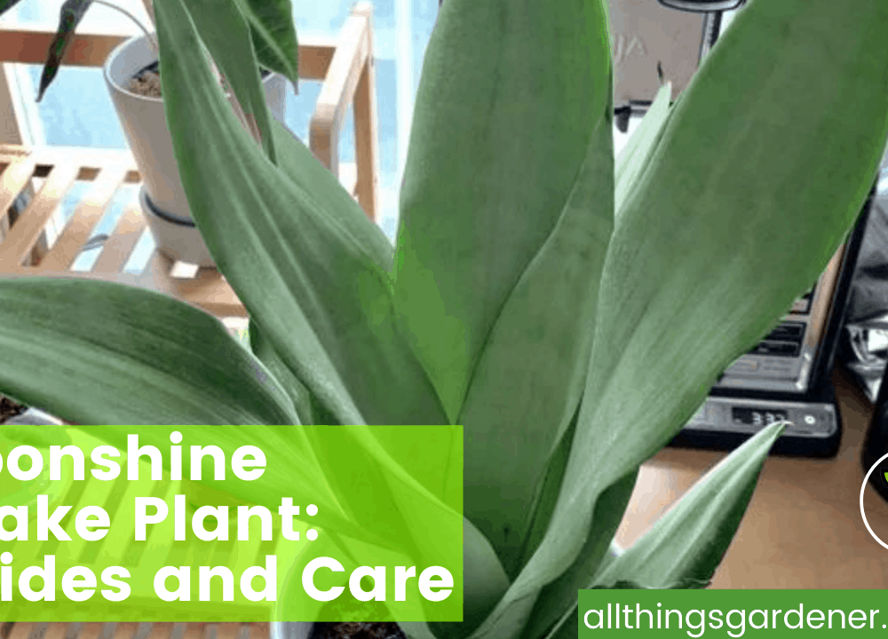 Moonshine Snake Plant, Here's Superb Amazing Guides and Care About It (2021)