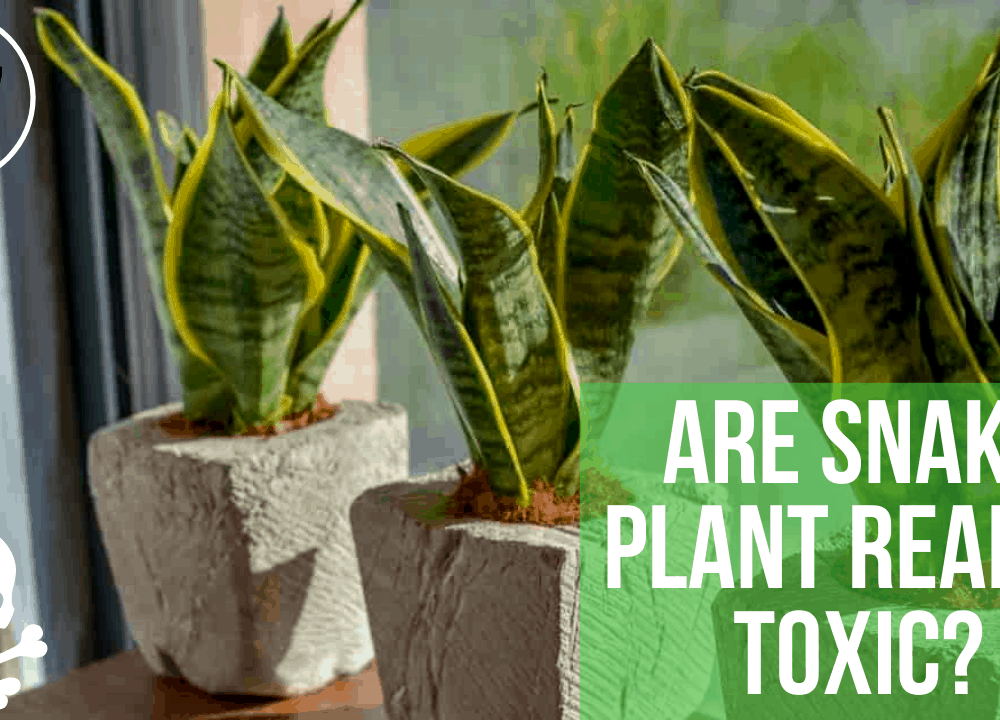 """Superb Amazing Facts About """"Is Snake Plant Toxic?"""" (2021)"""