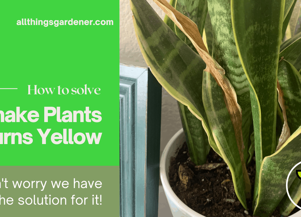 Yellow leaves on Snake Plant, Superb Amazing Facts Causes and Solutions (2021)