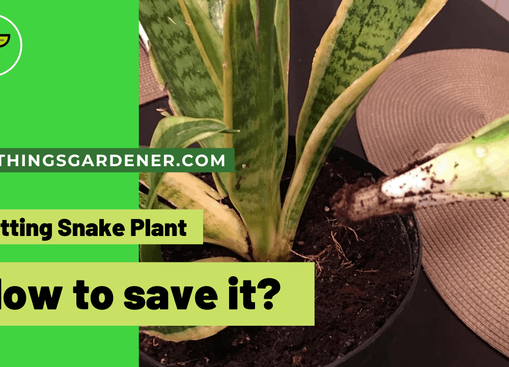Rotting Snake Plant, Superb Amazing Guides For Dealing With It (2021)