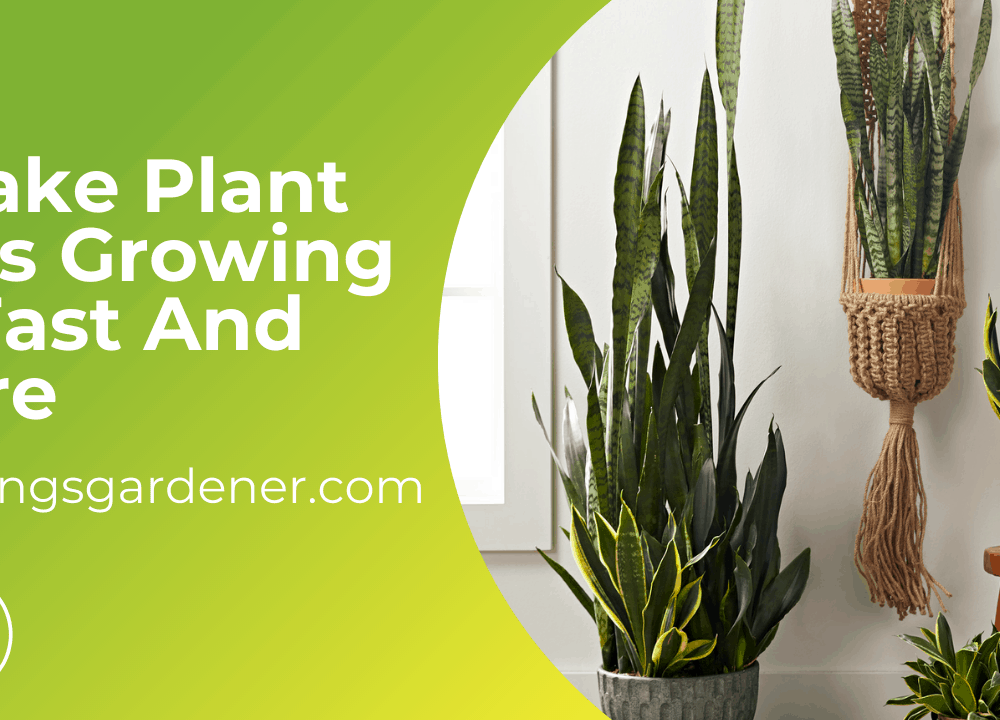 Superb Amazing Guides Of How Fast do Snake Plants Grow And Care For It (2021)