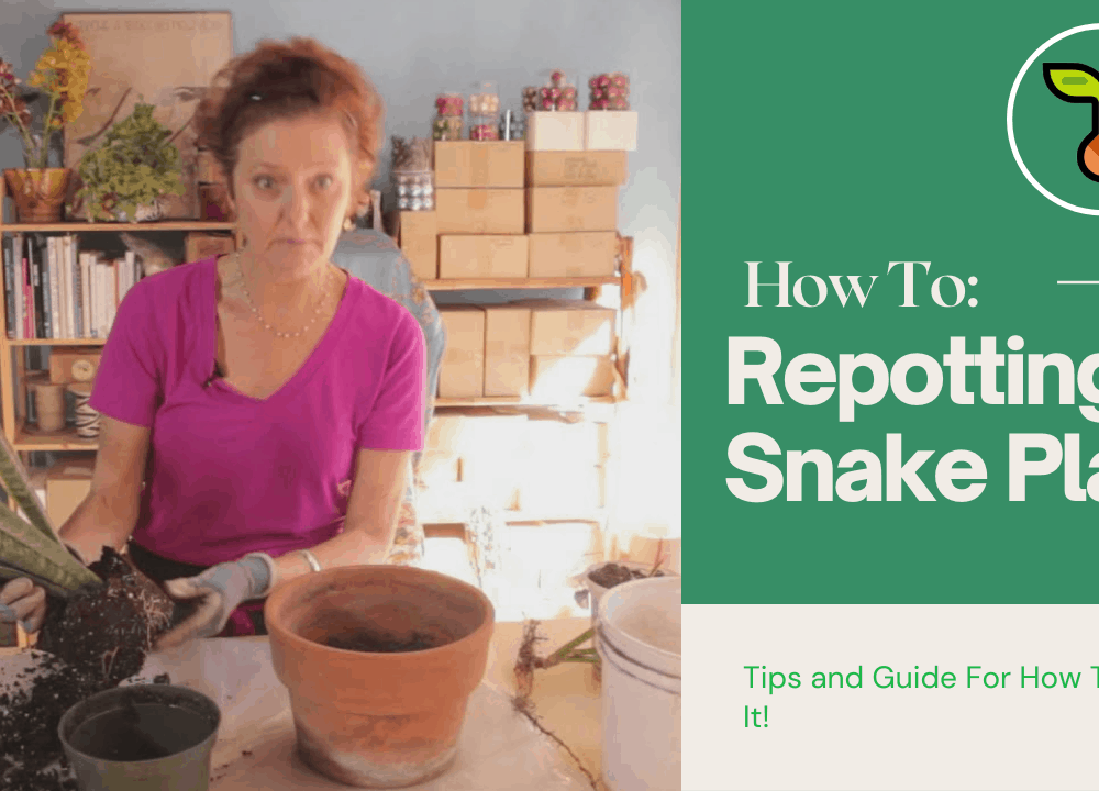 Superb Amazing Facts How to Repot a Snake Plant? (2021)