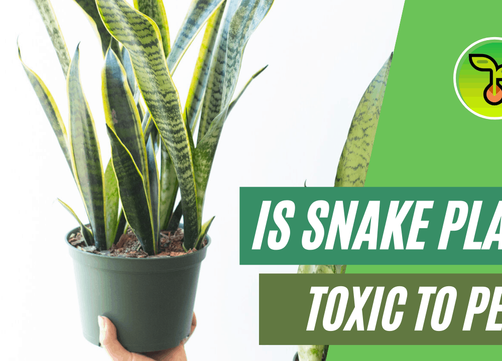 """Superb Amazing Fact About """"Is Snake Plant Toxic to Pets?: Dogs, Cats, and Birds"""" (2021)"""