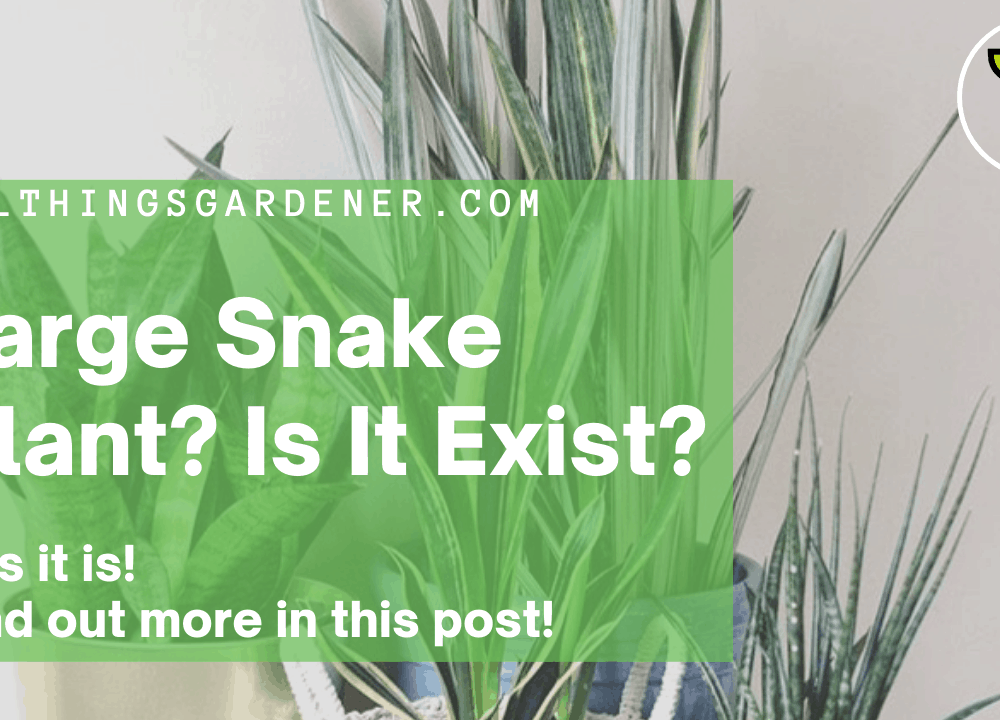Superb Amazing Facts About Large Snake Plant Varieties: Plant it Outdoors or Indoors! (2021)