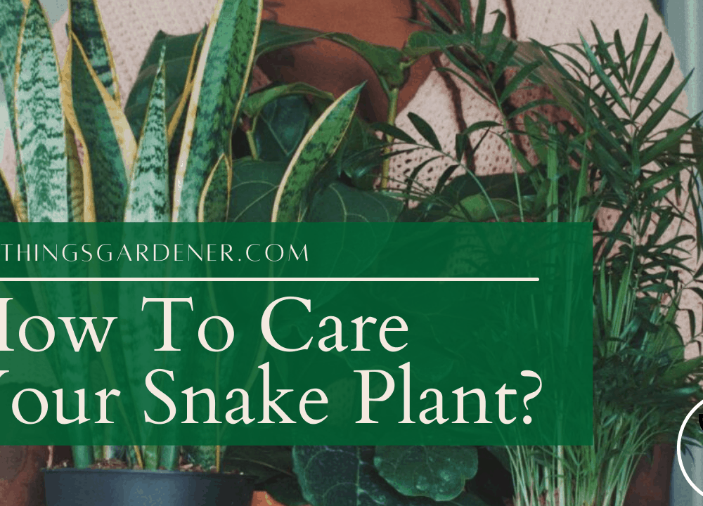 Superb Amazing Guides About Snake Plant Care (2021)