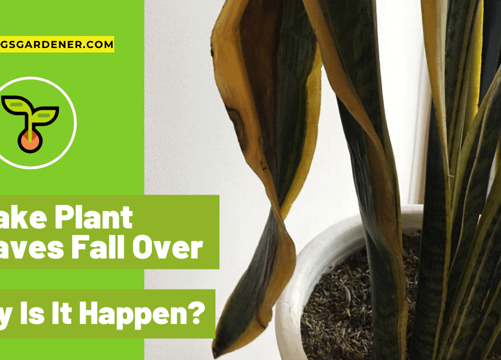 Snake Plant Leaves Fall Over, Why Is It Happen? Superb Amazing Guides and Tips To Taking Care Of It! (2021)