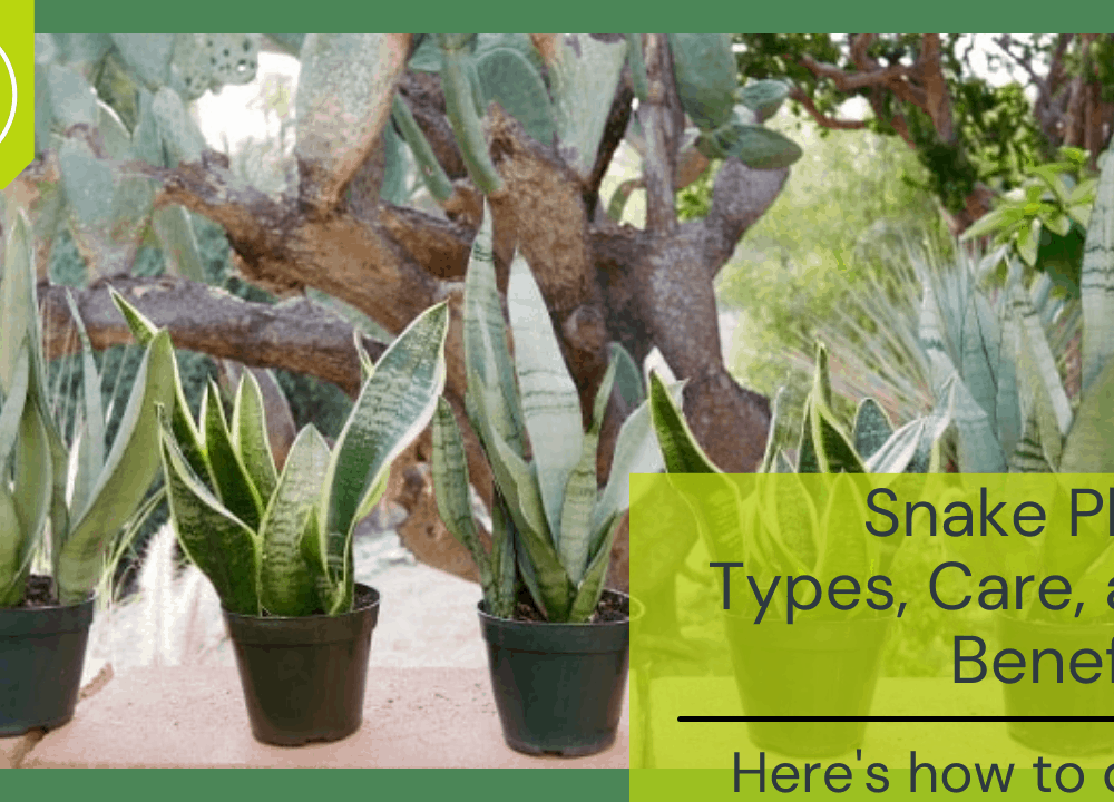Superb Amazing Fact About Snake Plants – Type of Plant, Care, Benefits & How To Growing It (2021)