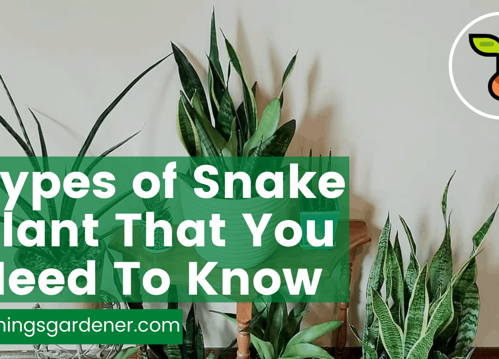 Superb Amazing List Types of Snake Plants: 14 More You Should Know [Part 2]