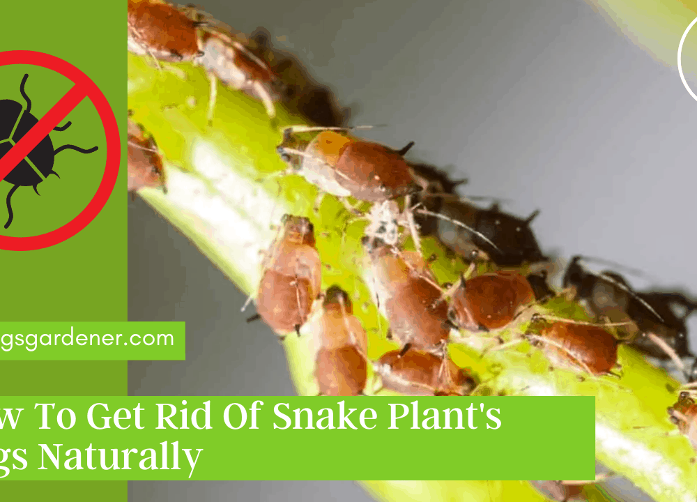 Bugs On Snake Plant, Here Superb Tips and Amazing Guide For Getting Rid Of It Naturally (2021)