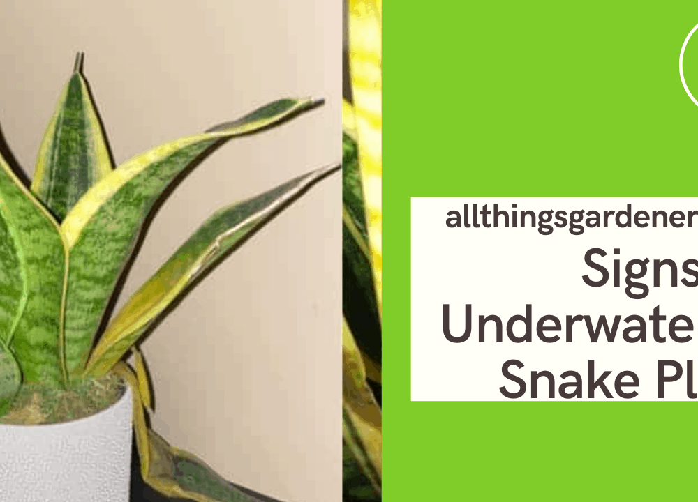 Signs Of Underwatered Snake Plant And Superb Amazing Guide For How To Revive It! (2021)