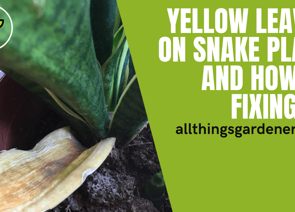 Yellow Leaves on Snake Plant, Here's Superb Amazing Guide How To Fixing That Up! (2021)