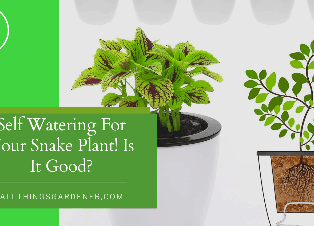 Self Watering For Your Snake Plant! Is It Good? Here's Superb Amazing Guide About It! (2021)