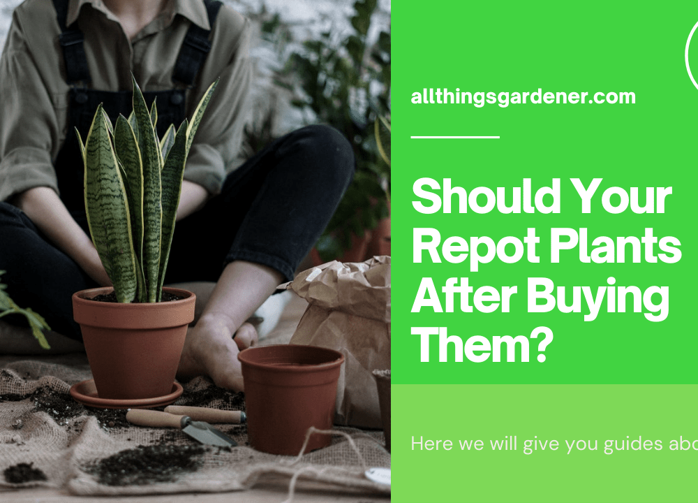 Should You Repotting Your Plants After Buying Them? Yes! Why Not? Here's Superb Guide To Do It! (2021)