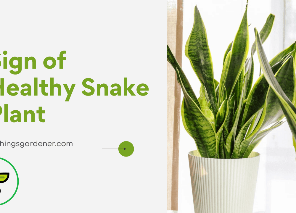 3 Superb Amazing Facts To Have A Sign of Healthy Snake Plant In Your House 2021!