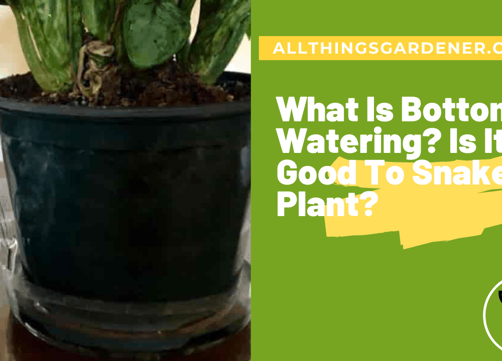 6 Superb Amazing Guide of Bottom Watering Before You Do It To Your Snake Plant! (2021)
