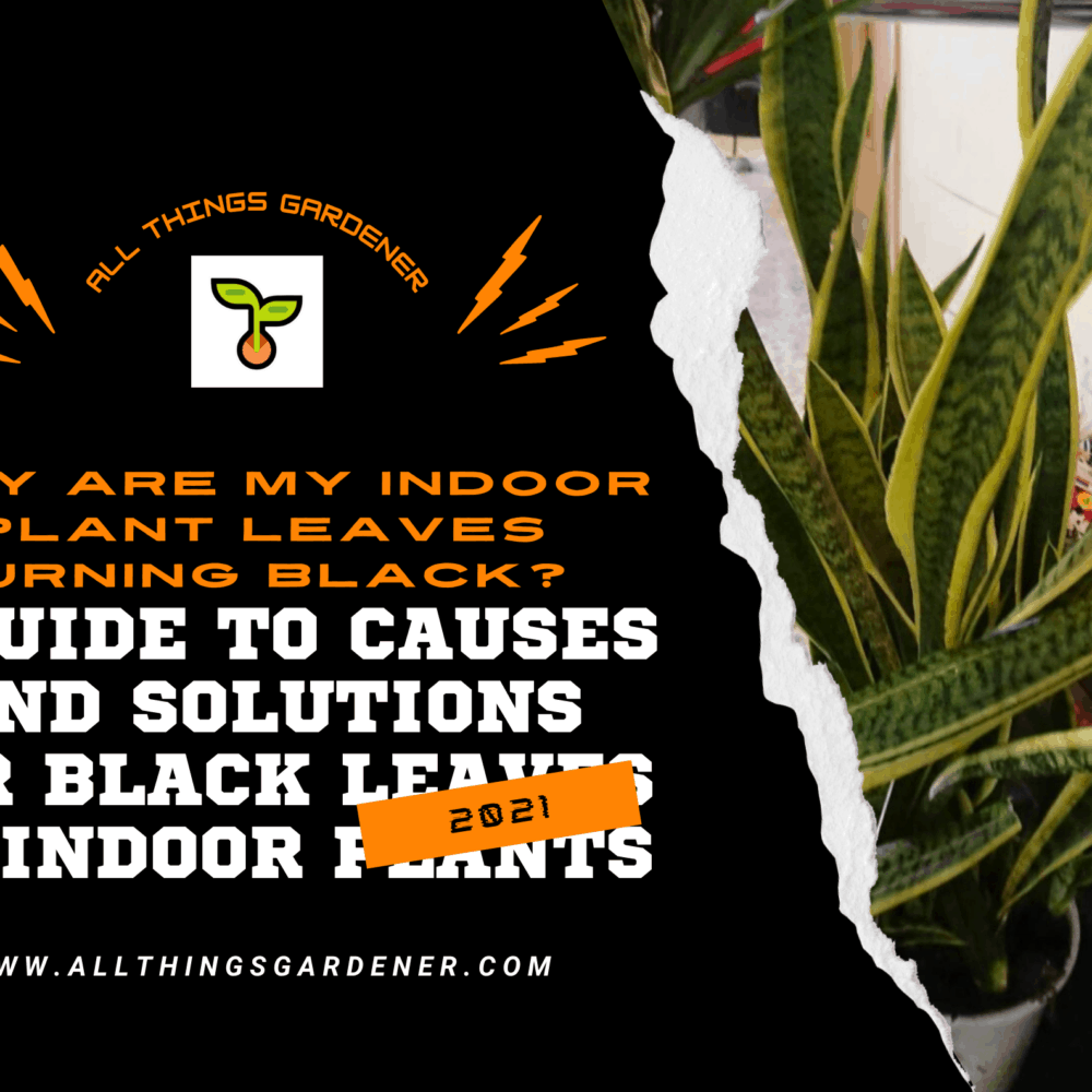 Why Are My Indoor Plant Leaves Turning Black? A Guide to Causes and Solutions for Black Leaves on Indoor Plants