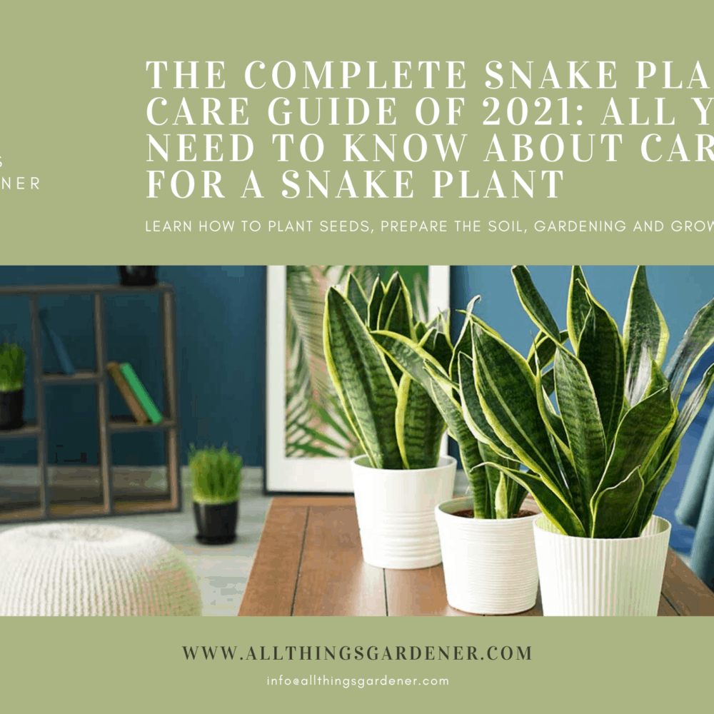 The Complete Snake Plant Care Guide of 2021: All You Need to Know About Caring for a Snake Plant