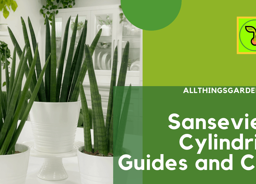 Sansevieria Cylindrica : Guides and Care, Superb Amazing Guides Having This Plant! (2021)
