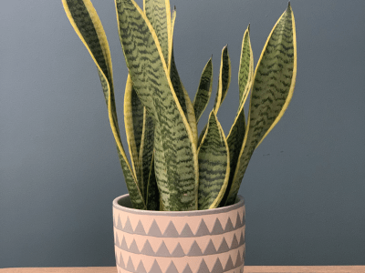 yellow leaves on snake plant
