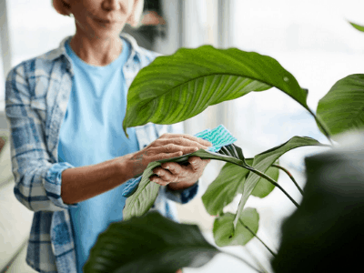 cleaning snake plant