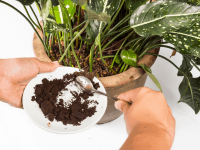 growing snake plant with coffee ground
