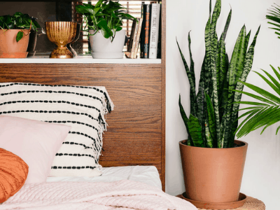 snake plant used for cleaning air