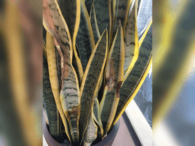 3 Superb Tips And Guide Saving Dying Snake Plant 2021