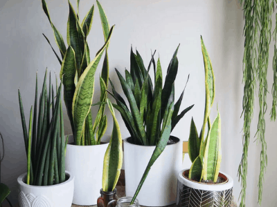 snake plant survive without water