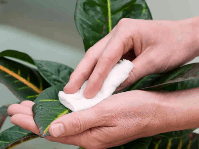 Grooming Your Snake Plant