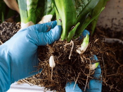 root rotting