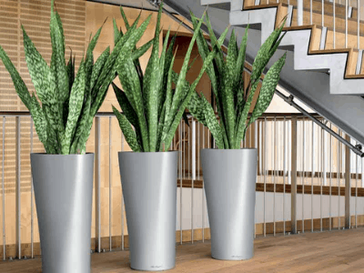 Snake Plant Can Repel Mosquitoes! Here's Superb Fact About It (2021)