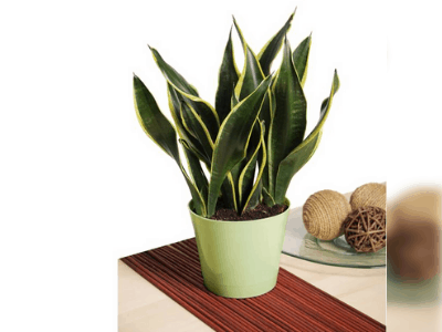 healthy snake plant