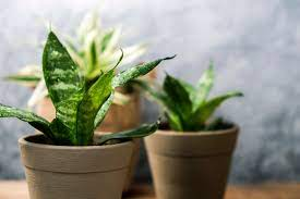 common snake plant problems