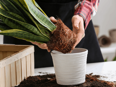 snake plant outdoor