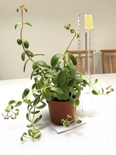 How to keep Jade Plant from getting leggy?