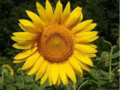 Are Sunflowers Easy To Grow? The Ultimate Guide For Beginners (2021)