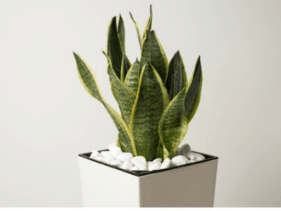 stone and snake plants