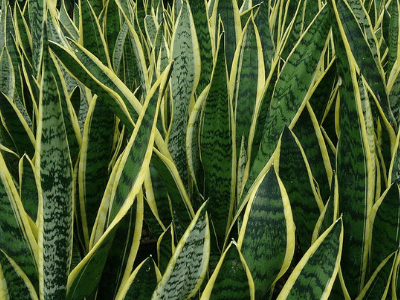 21 Snake Plants You Can Grow Indoors #2: Begin Your Exciting Sansevieria Collection Journey