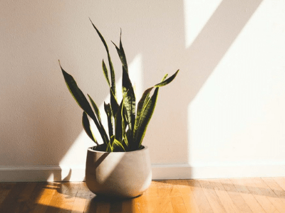 Snake Plant Grow Indoors