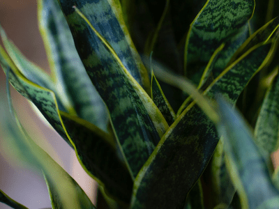Curling Snake Plant Leaves: Causes and Solution Guide [2021]