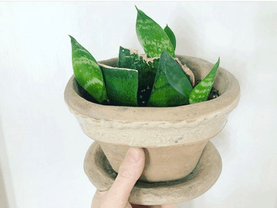 caring for a snake plant