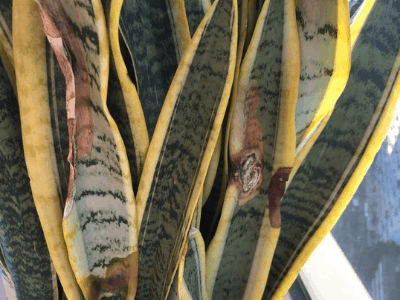 What Causes My Snake Plant To Turn Brown? Uncovering The Ultimate Causes And Solutions To Brown Spots And Brown Tips On Snake Plant Leaves [2021]