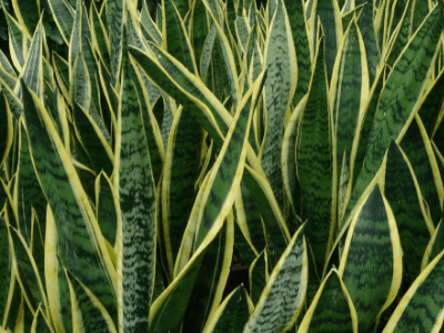 The Reliable Snake Plant Propagation Guide [2021]