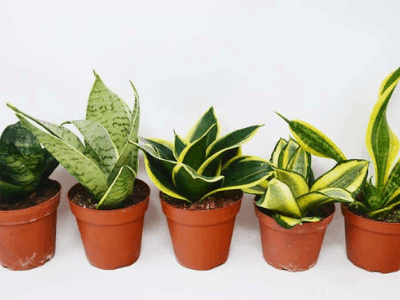Mini Snake Plant Collection #1: 4 Stunningly Beautiful Varieties For Your Desk Decor!