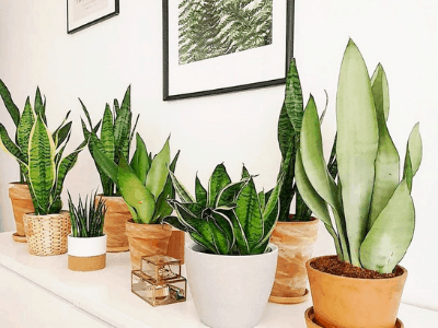 12 Stellar Species Of Snake Plants For Your Amazing Houseplant Collection In 2021!