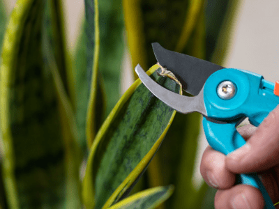 How To Prune Snake Plant? The Best Know-How Guide To Make Them Grow Beautifully (2021)