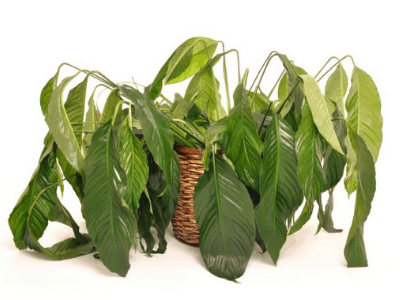 Wilting Houseplant Leaves: 9 Causes Of This Problem